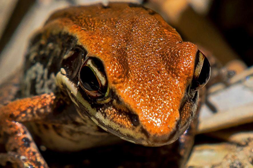 Assam's kope frog